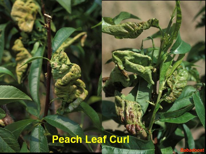 http://veg-fruit.cropsci.illinois.edu/pictures/2003/March/March-14/Peach%20Leaf%20Curl.jpg